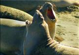 Expressive Elephant Seals