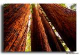 Big Sur Redwoods