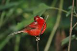 Red Warbler 3