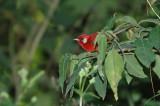 Red Warbler 5