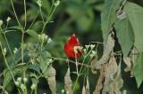 Red Warbler 6
