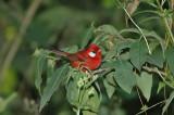 Red Warbler 7
