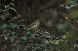 White-throated Robin (Thrush)
