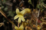 Clustered Broomrape