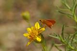 Orange Skipperling on Narrowleaf Goldenbush