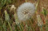 Annual Mountain Dandelion