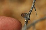 Western Pygmy Blue 2
