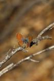Western Pygmy Blue 3