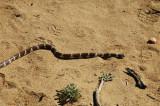 California King Snake in Sand