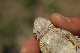 Coast Horned Lizard 2
