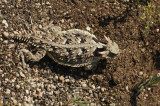 Coast Horned Lizard 3
