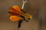 Orange Skipperling 3