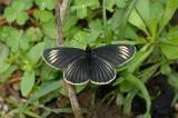 Striped Patch Butterfly