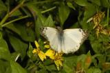 Laviana White Skipper - Male
