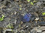 Mexican Bluewing - Dorsal