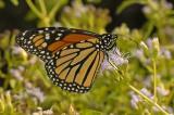 Monarch - Ventral