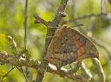Tropical Leafwing - Ventral