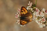 Female Hermes Copper - Dorsal