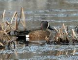 #88   Blue-winged Teal