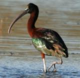 Glossy Ibis / Ibis Facinelle