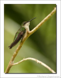 Groene Kolibrie - Chlorostilbon mellisugus - Blue-tailed Emerald