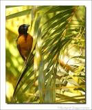 Grote Textorwever - Ploceus cucculatus - Village Weaver