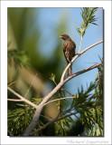 Palmvogel - Dulus dominicus - Palmchat