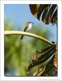 Grijze Koningstiran - Tyrannus dominicensis - Gray Kingbird