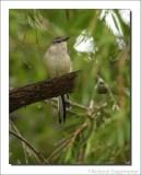 Caribische Spotlijster - Mimus gilvus - Tropical Mockingbird