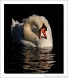 Knobbelzwaan - Cygnus olor - Mute Swan