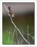 Cetti's Zanger    -    Cettis Warbler