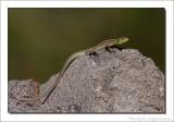 Reuzensmaragdhagedis    -    Balkan green lizard