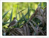 Bosrietzanger    -    Marsh Warbler