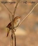 Nachtegaal - Luscinia megarhynchos - Nightingale