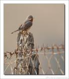 Baardgrasmus - Sylvia cantillans - Subalpine Warbler