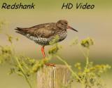 Tureluur - Tringa totanus - Redshank
