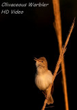 Vale Spotvogel - Hippolais pallida - Olivaceous Warbler