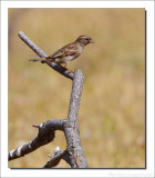 Huismus - Passer domesticus - House Sparrow