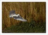 Kleine Zilverreiger - Egretta garzetta - Little Egret