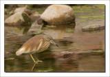 Ralreiger - Ardeola ralloides - Squacco Heron
