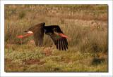 Zwarte Ooievaar - Ciconia nigra - Black Stork