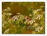 Cetti's Zanger - Cettia cetti - Cettis Warbler