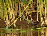 Klein Waterhoen - Porzana parva - Little Crake