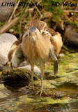 Woudaap - Ixobrychus minutus - Little Bittern