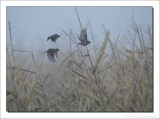 Ringmus - Passer montanus - Tree Sparrow