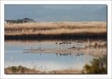 Flamingo -  Phoenicopterus roseus - Greater Flamingo