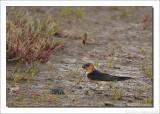 Roodstuitzwaluw - Hirundo daurica - Red-rumped Swallow