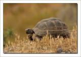 Moorse Landschildpad - Testudo Graeca - Spur - Tightea turtoise