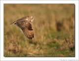 Velduil    -    Short-eared Owl