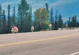 Wildlife of Jasper National Park, Alberta